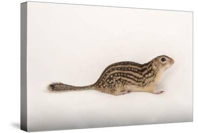 A Thirteen-Lined Ground Squirrel, Ictidomys Tridecemlineatus, at the Milford Nature Center-Joel Sartore-Stretched Canvas Print