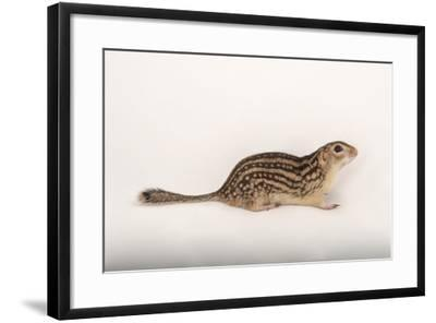 A Thirteen-Lined Ground Squirrel, Ictidomys Tridecemlineatus, at the Milford Nature Center-Joel Sartore-Framed Photographic Print