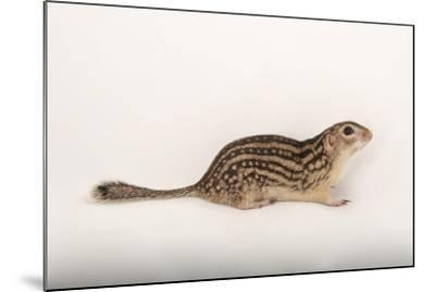 A Thirteen-Lined Ground Squirrel, Ictidomys Tridecemlineatus, at the Milford Nature Center-Joel Sartore-Mounted Photographic Print