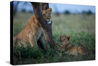 While the Pride Hunts, an Older and Younger Lion Cub Rest at an Acacia Tree-Michael Nichols-Stretched Canvas Print