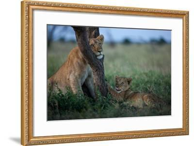 While the Pride Hunts, an Older and Younger Lion Cub Rest at an Acacia Tree-Michael Nichols-Framed Photographic Print