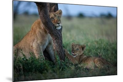 While the Pride Hunts, an Older and Younger Lion Cub Rest at an Acacia Tree-Michael Nichols-Mounted Photographic Print