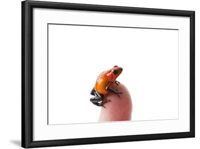 Isla Colon Morph of the Strawberry Poison Dart Frog, Oophaga Pumilio-Joel Sartore-Framed Photographic Print