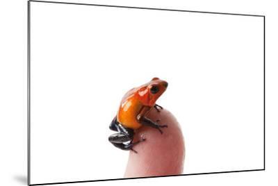 Isla Colon Morph of the Strawberry Poison Dart Frog, Oophaga Pumilio-Joel Sartore-Mounted Photographic Print