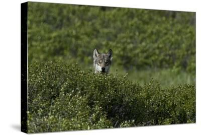 A Female Gray Wolf, Canis Lupus, Peering over a Shrub Near Her Den-Peter Mather-Stretched Canvas Print