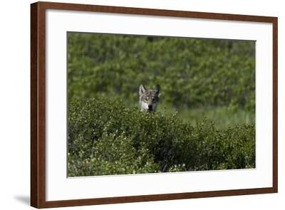 A Female Gray Wolf, Canis Lupus, Peering over a Shrub Near Her Den-Peter Mather-Framed Photographic Print