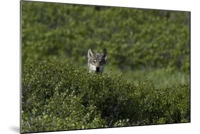 A Female Gray Wolf, Canis Lupus, Peering over a Shrub Near Her Den-Peter Mather-Mounted Photographic Print
