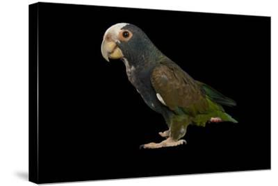 A White-Crowned Parrot, Pionus Senilis, at Tampa's Lowry Park Zoo-Joel Sartore-Stretched Canvas Print