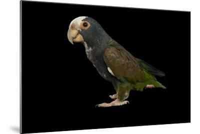 A White-Crowned Parrot, Pionus Senilis, at Tampa's Lowry Park Zoo-Joel Sartore-Mounted Photographic Print