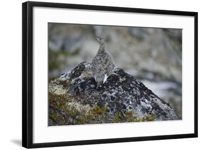 A Ptarmigan, Lagopus Species, in Summer Plumage, on a Rock-Keith Ladzinski-Framed Photographic Print