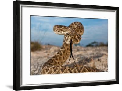 A Western Diamondback Rattlesnake in a Striking Pose Displaying its Tongue-Karine Aigner-Framed Photographic Print