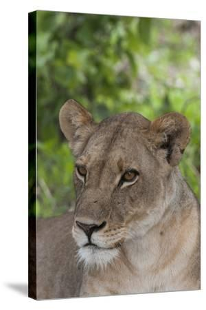 Close Up Portrait of a Lioness, Panthera Leo, Alert But Resting-Sergio Pitamitz-Stretched Canvas Print