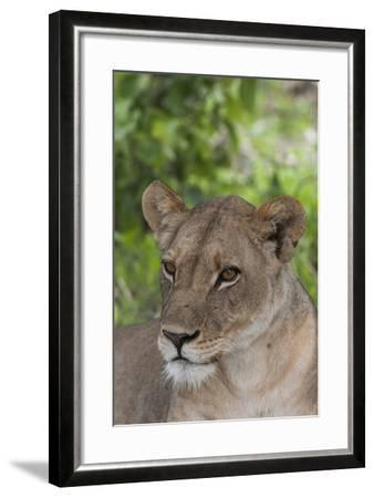 Close Up Portrait of a Lioness, Panthera Leo, Alert But Resting-Sergio Pitamitz-Framed Photographic Print