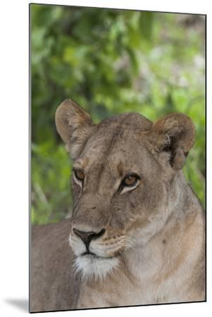 Close Up Portrait of a Lioness, Panthera Leo, Alert But Resting-Sergio Pitamitz-Mounted Photographic Print