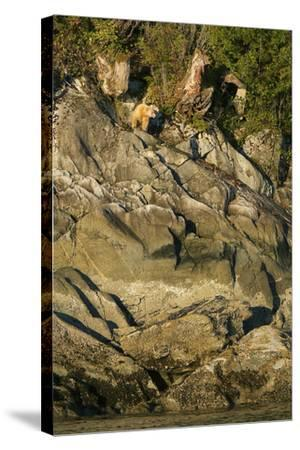 A Spirit or Kermode Bear on Rocks Above the Inter-Tidal Zone-Jed Weingarten-Stretched Canvas Print