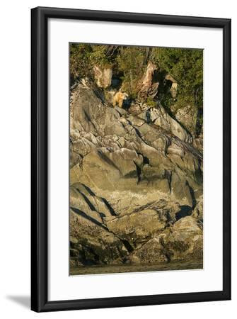 A Spirit or Kermode Bear on Rocks Above the Inter-Tidal Zone-Jed Weingarten-Framed Photographic Print