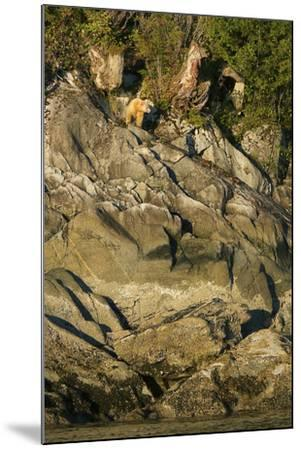 A Spirit or Kermode Bear on Rocks Above the Inter-Tidal Zone-Jed Weingarten-Mounted Photographic Print