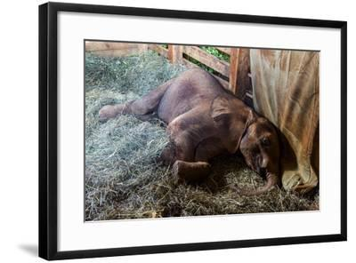 An Orphaned African Elephant Calf Sleeping in a Bed of Straw in Wildlife Shelter Barn-Jason Edwards-Framed Photographic Print