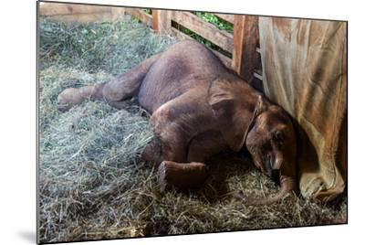 An Orphaned African Elephant Calf Sleeping in a Bed of Straw in Wildlife Shelter Barn-Jason Edwards-Mounted Photographic Print