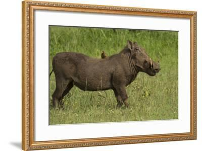 A Bird Perches on a Warthog Standing in Grass in Serengeti National Park, Tanzania-Michael Melford-Framed Photographic Print
