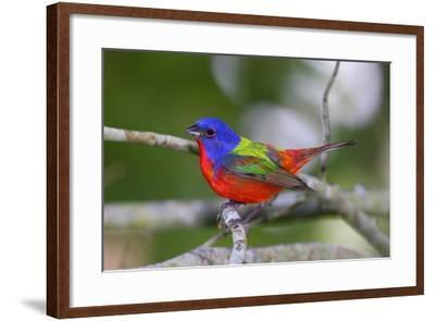 A Male Eastern Painted Bunting, Passerina Ciris, in Spectacular Breeding Color-George Grall-Framed Photographic Print