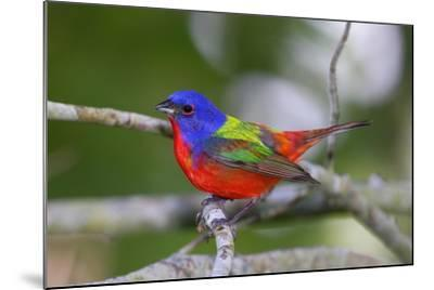 A Male Eastern Painted Bunting, Passerina Ciris, in Spectacular Breeding Color-George Grall-Mounted Photographic Print
