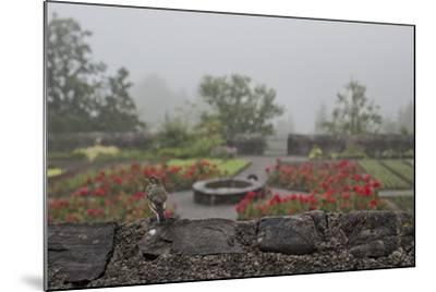 A Bird on a Rock Wall Overlooking an Herb Garden on a Foggy Rainy Day-Ulla Lohmann-Mounted Photographic Print