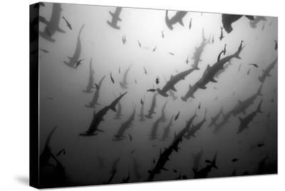 Scalloped Hammerhead Sharks, Sphyrna Lewini, Swimming Among Smaller Fish-Jeff Wildermuth-Stretched Canvas Print