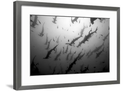 Scalloped Hammerhead Sharks, Sphyrna Lewini, Swimming Among Smaller Fish-Jeff Wildermuth-Framed Photographic Print