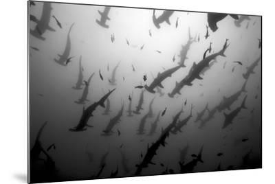 Scalloped Hammerhead Sharks, Sphyrna Lewini, Swimming Among Smaller Fish-Jeff Wildermuth-Mounted Photographic Print