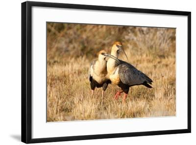 Black-Faced Ibis, Theristicus Melanopis, with a Chick, Eating-Tom Murphy-Framed Photographic Print