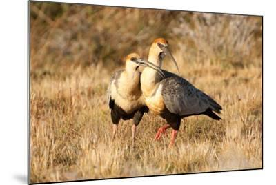 Black-Faced Ibis, Theristicus Melanopis, with a Chick, Eating-Tom Murphy-Mounted Photographic Print