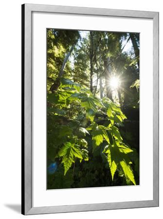 Large Leaves of a Devil's Club, Oplopanax Horridus, Growing in a Temperate Rainforest-Jonathan Kingston-Framed Photographic Print