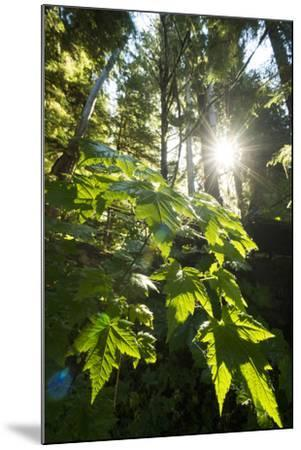Large Leaves of a Devil's Club, Oplopanax Horridus, Growing in a Temperate Rainforest-Jonathan Kingston-Mounted Photographic Print