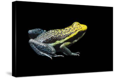 Rio Abiseo Morph of the Pepperi Poison Dart Frog, Ameerega Pepperi-Joel Sartore-Stretched Canvas Print