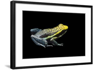 Rio Abiseo Morph of the Pepperi Poison Dart Frog, Ameerega Pepperi-Joel Sartore-Framed Photographic Print