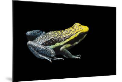 Rio Abiseo Morph of the Pepperi Poison Dart Frog, Ameerega Pepperi-Joel Sartore-Mounted Photographic Print