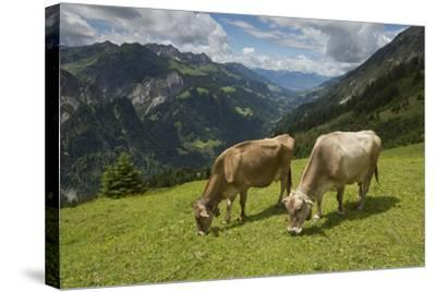 Free-Roaming Dairy Cattle Grazing in a Meadow in the Austrian Alps in Summer-Ulla Lohmann-Stretched Canvas Print