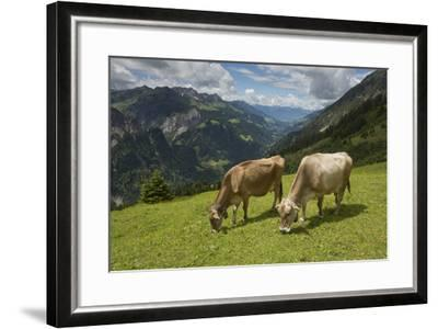 Free-Roaming Dairy Cattle Grazing in a Meadow in the Austrian Alps in Summer-Ulla Lohmann-Framed Photographic Print