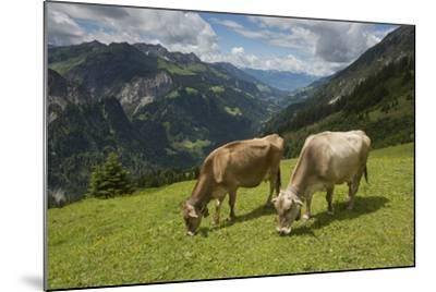 Free-Roaming Dairy Cattle Grazing in a Meadow in the Austrian Alps in Summer-Ulla Lohmann-Mounted Photographic Print