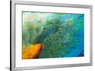 Close Up of the Wing and Feathers of a Beautiful Wild Harlequin Macaw-Alex Saberi-Framed Photographic Print