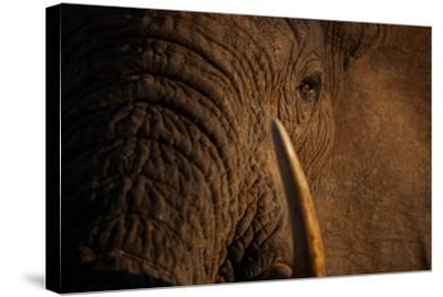 A Wild Bull Elephant Comes to Drink at the Ithumba Stockade-Michael Nichols-Stretched Canvas Print