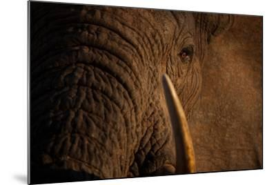 A Wild Bull Elephant Comes to Drink at the Ithumba Stockade-Michael Nichols-Mounted Photographic Print