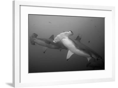 Three Scalloped Hammerhead Sharks, Sphyrna Lewini, Swimming Among Smaller Fish-Jeff Wildermuth-Framed Photographic Print