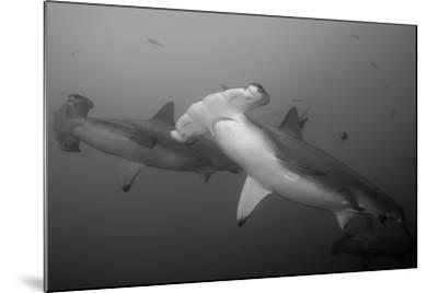 Three Scalloped Hammerhead Sharks, Sphyrna Lewini, Swimming Among Smaller Fish-Jeff Wildermuth-Mounted Photographic Print