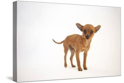 A Studio Portrait of Cinny, a Three Month-Old Chihuahua-Joel Sartore-Stretched Canvas Print