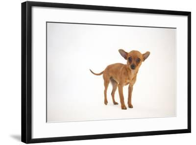A Studio Portrait of Cinny, a Three Month-Old Chihuahua-Joel Sartore-Framed Photographic Print