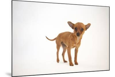 A Studio Portrait of Cinny, a Three Month-Old Chihuahua-Joel Sartore-Mounted Photographic Print