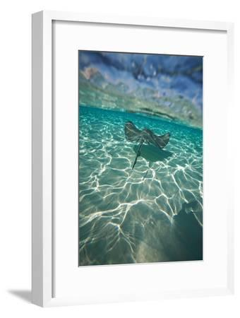 A Stingray Swims over a Series of Shallow Sandbars Off the Cayman Islands-Chris Bickford-Framed Photographic Print