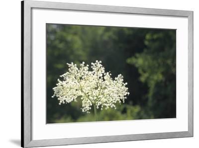 Black Elder Flowers, Sambucus Nigra, Against a Blue Sky with Clouds-Joe Petersburger-Framed Photographic Print